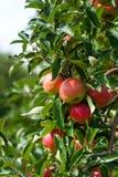 Schließen Sie oben von einem Apfelbaum Stockbild