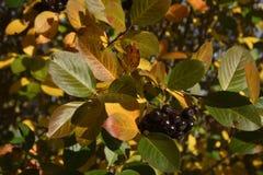 Schließen Sie oben von einem Aronia-Beerenbusch im Spätherbst Stockfotos