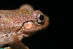 Schließen Sie oben von einem australischen Frosch   Lizenzfreie Stockfotografie