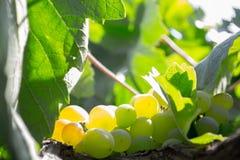 Schließen Sie oben von einem Bündel grünen Trauben lizenzfreies stockbild