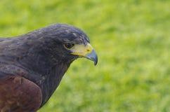 Schließen Sie oben von einem braunen Falken mit grünem Gras im Hintergrund Lizenzfreie Stockfotos