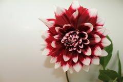 Schließen Sie oben von einem Burgunder und weißen von Dahlienblüten- und -GRÜNblättern gegen einen weißen Hintergrund Lizenzfreies Stockbild