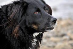 Schließen Sie oben von einem colllie Hund Stockbild