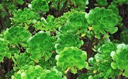 Schließen Sie oben von einem dekorativen Aeonium - Succulent Lizenzfreies Stockfoto