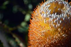 Schließen Sie oben von einem Eichel Banksiablütenstand lizenzfreies stockfoto