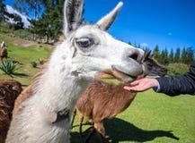 Schließen Sie oben von einem erwachsenen Lama Stockfotografie
