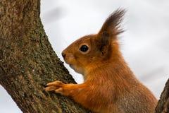 Schließen Sie oben von einem eurasischen Eichhörnchen auf einem Baum stockfoto