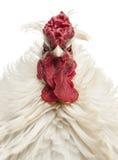 Schließen Sie oben von einem gelockten mit Federn versehenen Hahn, der die Kamera betrachtet Stockfotos