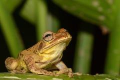 Schließen Sie oben von einem gemeinen mexikanischen Baum-Frosch stockbilder