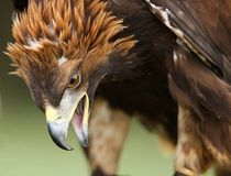 Schließen Sie oben von einem goldenen Adler Stockbilder
