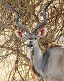Schließen Sie oben von einem größeren Kudu-Dollar Tragelaphus Strepsiceros und im Busch im Süd-luangwa stehen, Sambia Lizenzfreies Stockbild