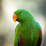 Schließen Sie oben von einem grünen männlichen Papageien Eclectus Roratus stockfoto