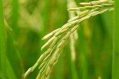 Schließen Sie oben von einem grünen Reisfeld Stockfotos
