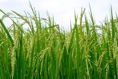 Schließen Sie oben von einem grünen Reisfeld Stockbild