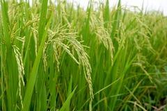 Schließen Sie oben von einem grünen Reisfeld Lizenzfreie Stockbilder