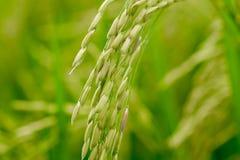 Schließen Sie oben von einem grünen Reisfeld Stockbilder