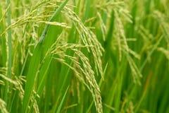 Schließen Sie oben von einem grünen Reisfeld Lizenzfreie Stockfotografie