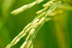 Schließen Sie oben von einem grünen Reisfeld Stockfotografie