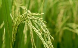 Schließen Sie oben von einem grünen Reisfeld Lizenzfreies Stockfoto