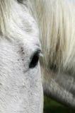 Schließen Sie oben von einem grauen Pferd Lizenzfreies Stockbild