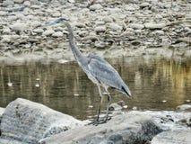 Schließen Sie oben von einem Graureiher im Arkansas River Lizenzfreie Stockfotos