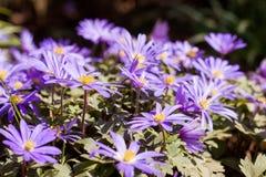 Schließen Sie oben von einem griechischen Wildflower lizenzfreie stockfotos