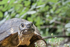 Schließen Sie oben von einem Hermann-` s Schildkrötenkopf auf grünem Hintergrund stockfotos