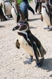 Schließen Sie oben von einem Humboldt Pinguin lizenzfreie stockfotos