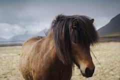 Schließen Sie oben von einem isländischen braunen Pferd auf einem Feld Stockbild