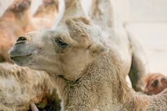 Schließen Sie oben von einem Kamel stockfotografie