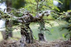 Schließen Sie oben von einem knörrigen Stamm eines alten Snowrose-Bonsaibaums Stockbilder