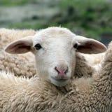 Schließen Sie oben von einem Lamm, Schaf Lizenzfreie Stockbilder