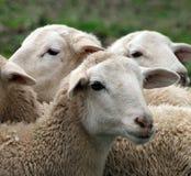 Schließen Sie oben von einem Lamm, Schaf Stockfoto
