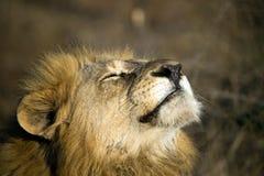Schließen Sie oben von einem männlichen Löwe, der untergehende Sonne gegenüberstellt Lizenzfreies Stockfoto