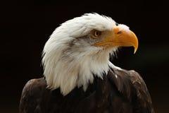 Schließen Sie oben von einem männlichen Weißkopfseeadler gegen schwarzen Hintergrund Lizenzfreie Stockfotografie