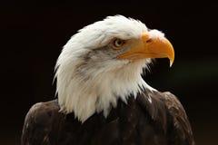 Schließen Sie oben von einem männlichen Weißkopfseeadler gegen schwarzen Hintergrund Lizenzfreie Stockbilder