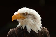 Schließen Sie oben von einem männlichen Weißkopfseeadler gegen schwarzen Hintergrund Stockfoto