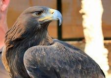 Schließen Sie oben von einem majestätischen Adler Lizenzfreies Stockfoto