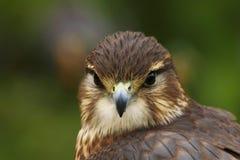 Schließen Sie oben von einem MERLIN, Falco-columbarius, Raubvogel lizenzfreie stockfotografie