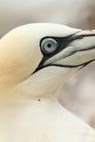 Schließen Sie oben von einem Nordgannet Vogel Lizenzfreies Stockbild