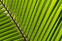 Schließen Sie oben von einem Palmblatt Lizenzfreies Stockfoto