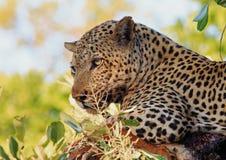 Schließen Sie oben von einem Panthera Pardus - der afrikanische Leopard, der in einem Baum im Sambia stillsteht Stockfoto