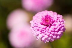 Schließen Sie oben von einem rosa Zinnia Stockfotografie