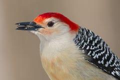 Schließen Sie oben von einem Rot-aufgeblähten Spechtvogel mit einem Sonnenblumensamen in seinem Mund Stockbild