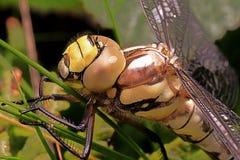 Schließen Sie oben von einem südlichen Straßenverkäufer der neugeborenen Libelle Stockfoto