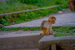 Schließen Sie oben von einem schönen kleinen Affen am Freien bei Swayambhu Stupa, Affe-Tempel, Kathmandu, Nepal Lizenzfreie Stockfotografie