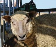 Schließen Sie oben von einem Schaf lizenzfreie stockfotografie