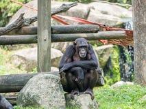 Schließen Sie oben von einem Schimpansen Lizenzfreies Stockbild