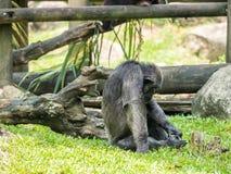 Schließen Sie oben von einem Schimpansen Lizenzfreie Stockfotografie