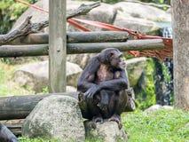Schließen Sie oben von einem Schimpansen Lizenzfreies Stockfoto